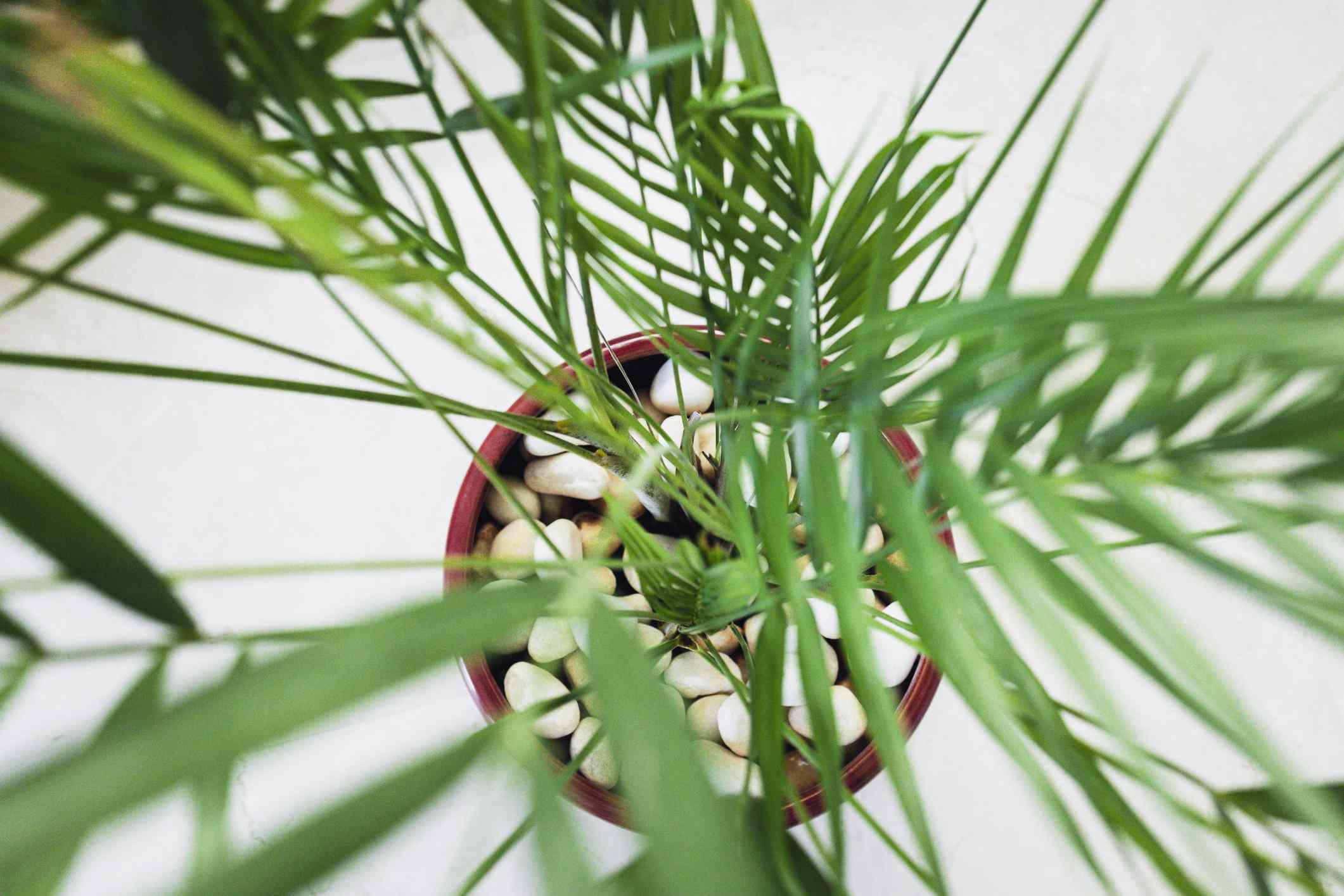 Bamboo palm (Chamaedorea seifrizii) from above in a brown pot.