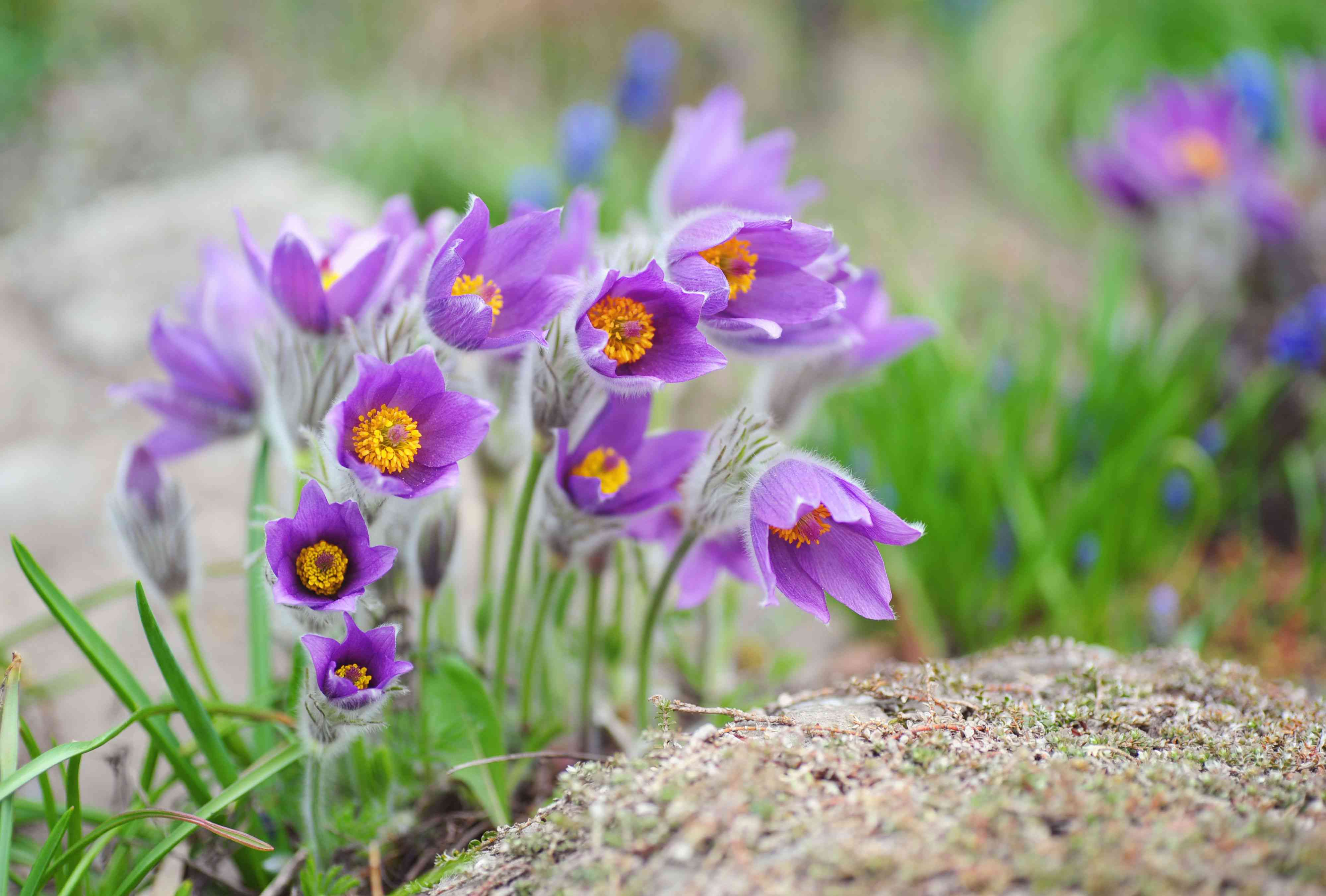 Pasque flowers with small purple petals grown in clumps near moss-covered rock