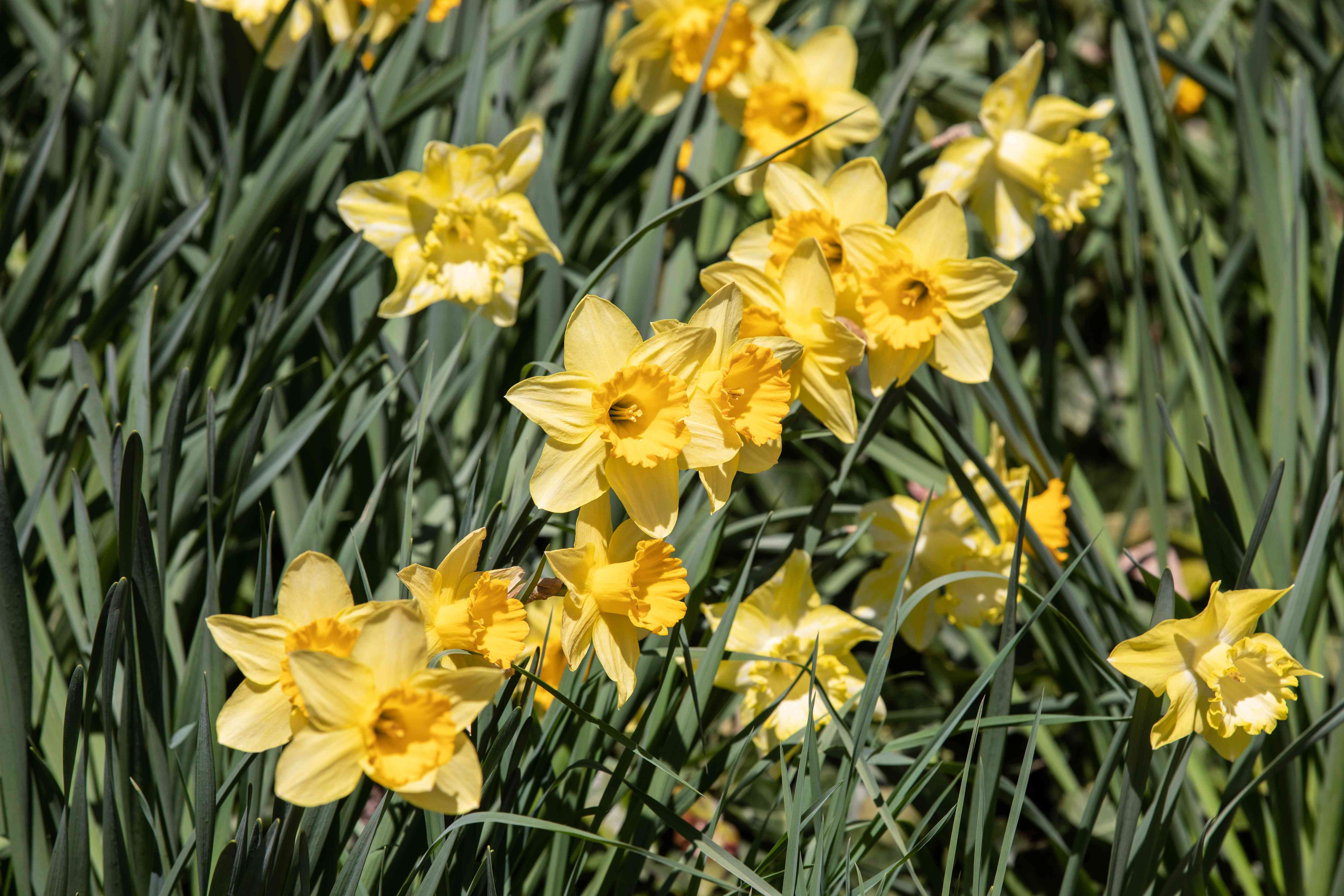 Spring bulb with yellow daffodil flowers surrounded by blade-like leaves in sunlight
