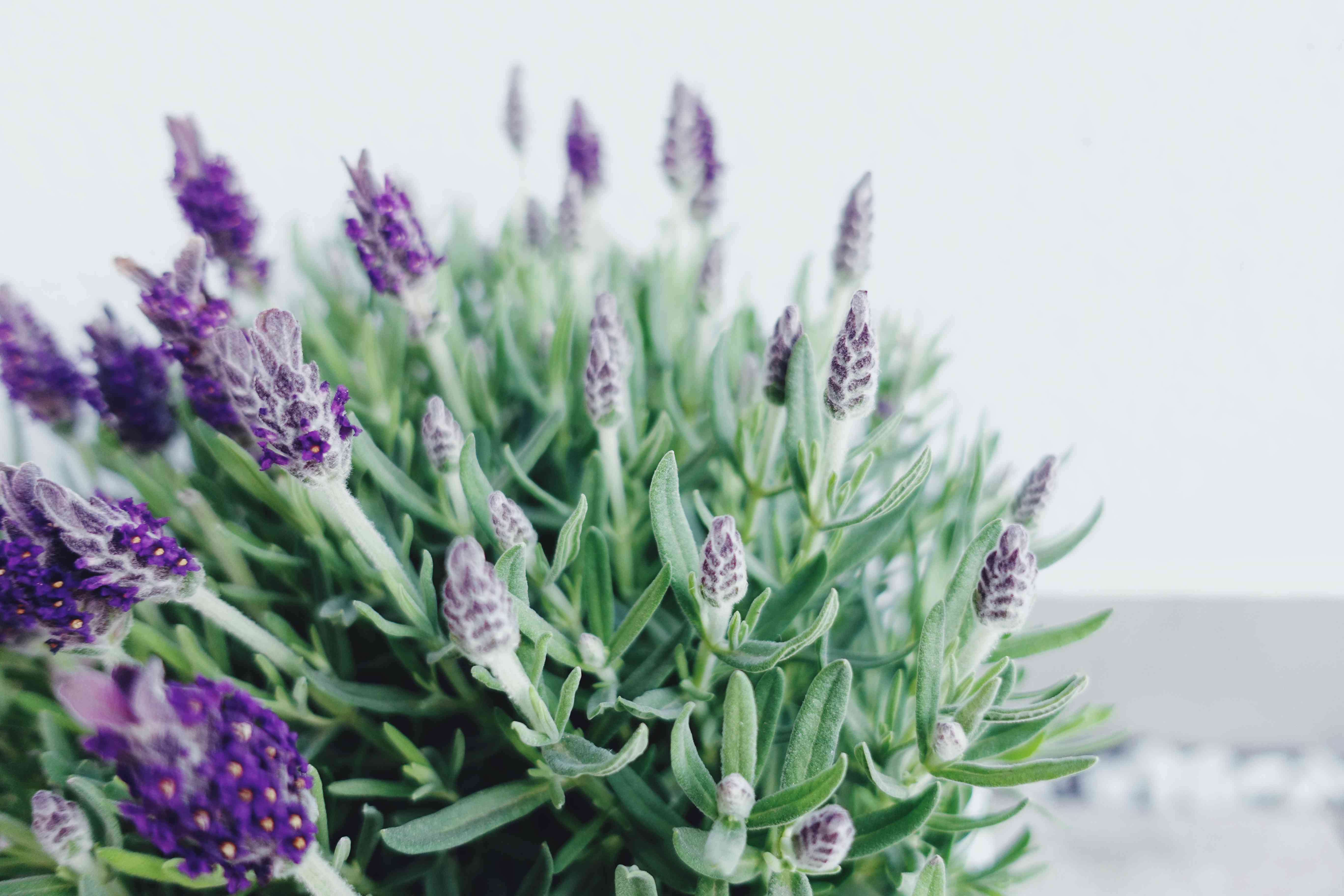 Close-up View Of Lavender Blooming In Pot Against White Wall