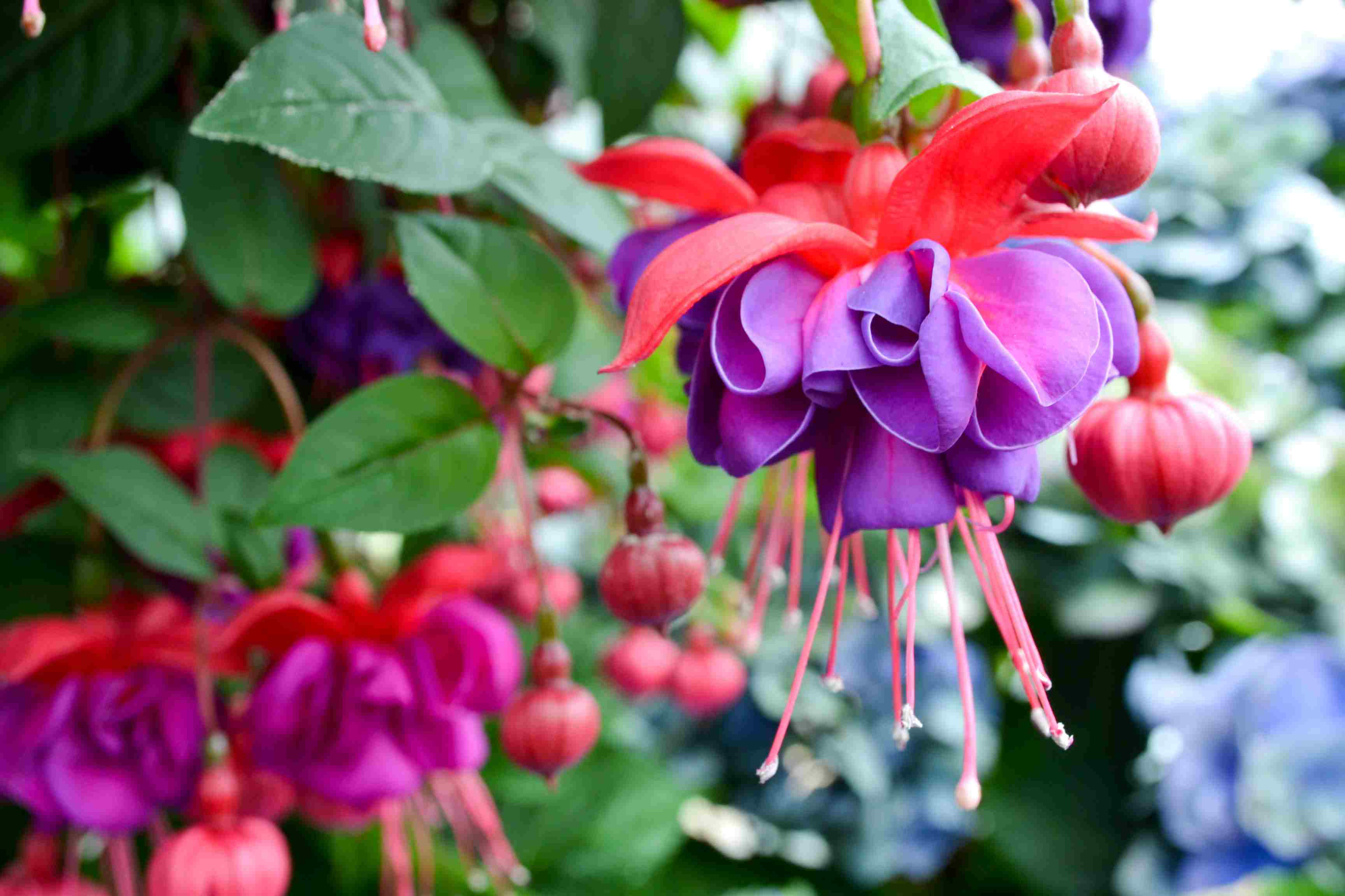11 best flowers to use in hanging baskets fuchsia flowers izmirmasajfo