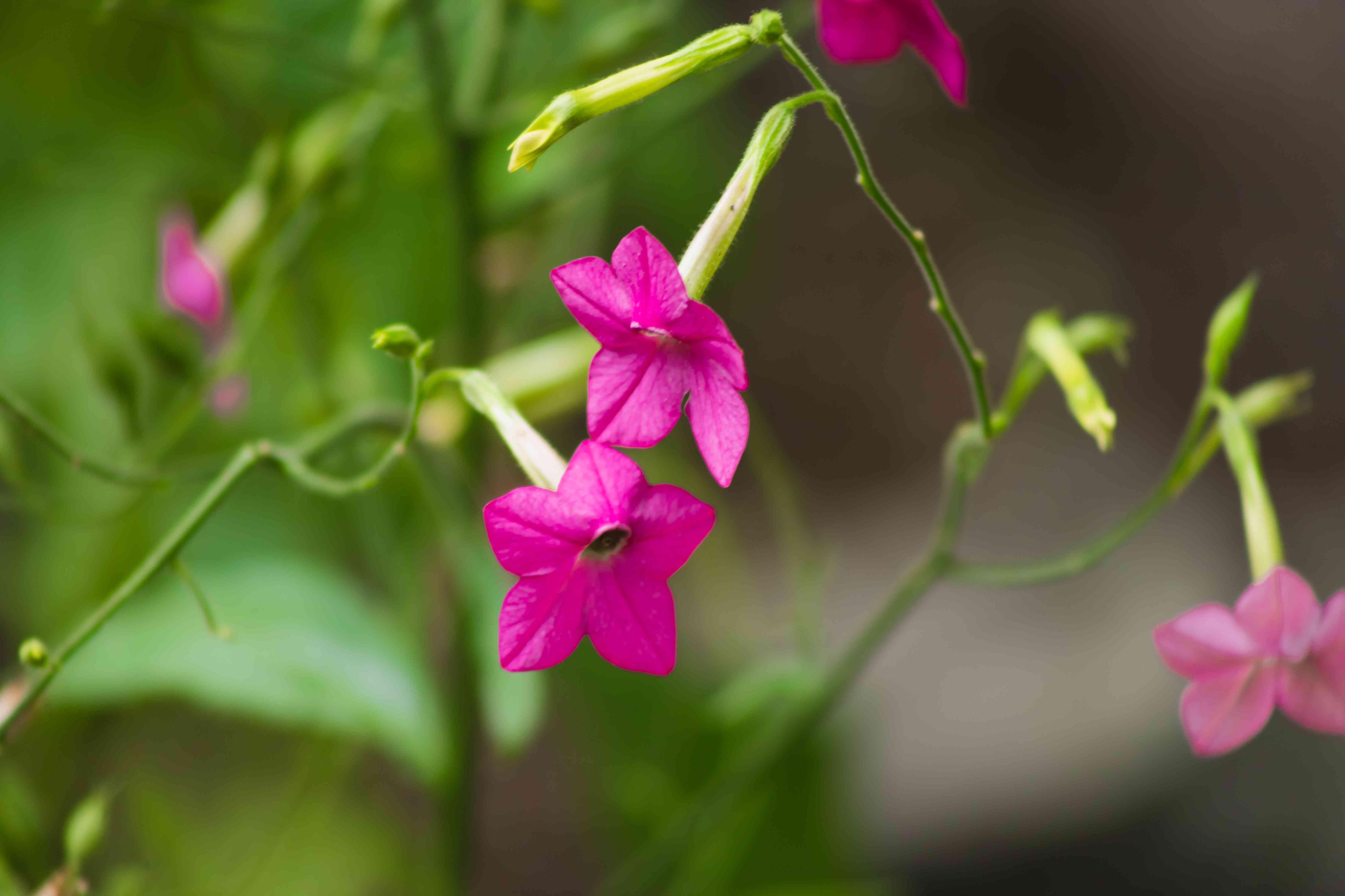 Flowering tobacco plant fuschia flowers closeup