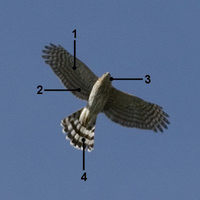 Cooper's hawk in flight with identifying markers 1 through 4.