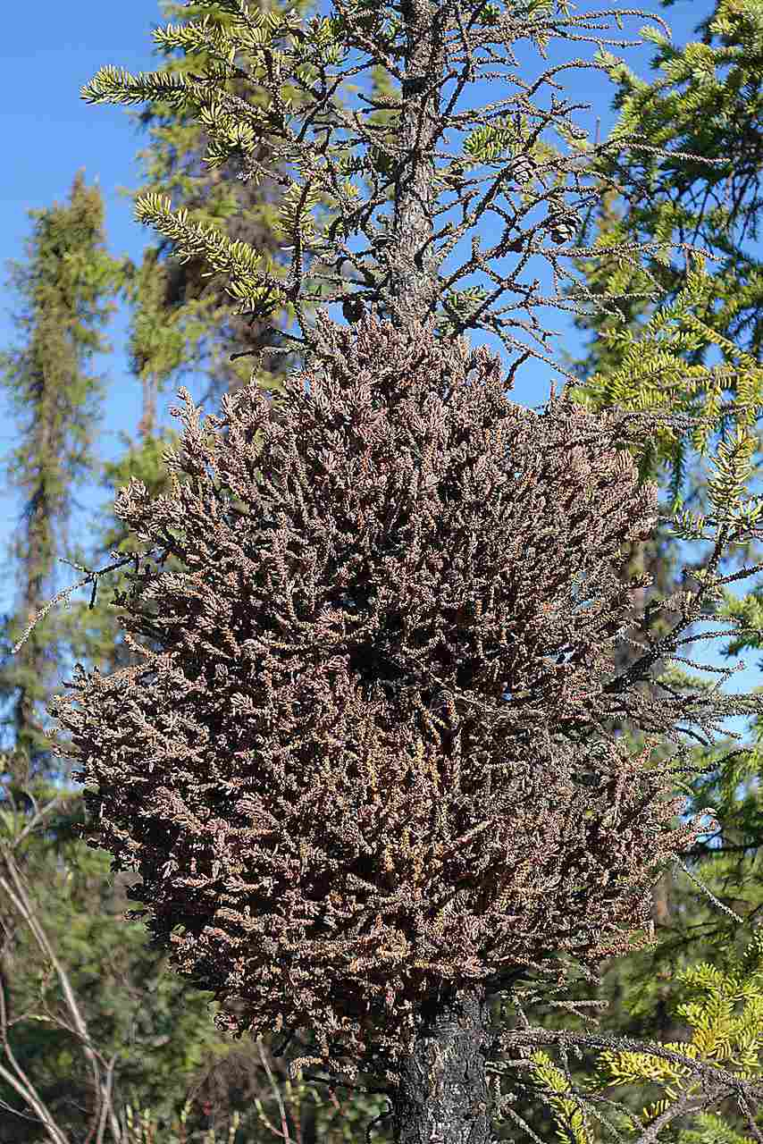 Witches' broom rust (Chrysomysa arctostaphyli) of spruce.
