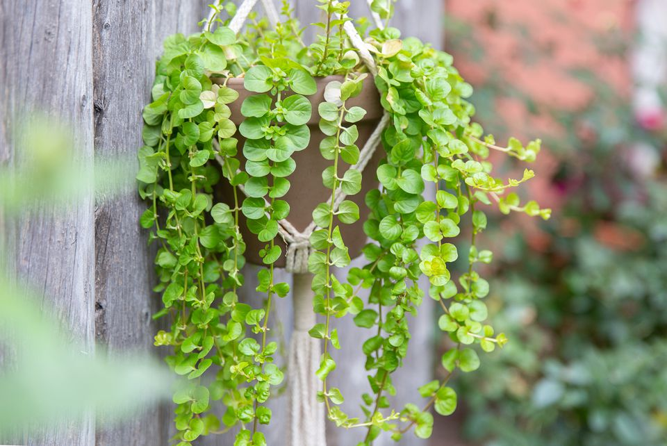 creeping jenny growing in a hanging pot