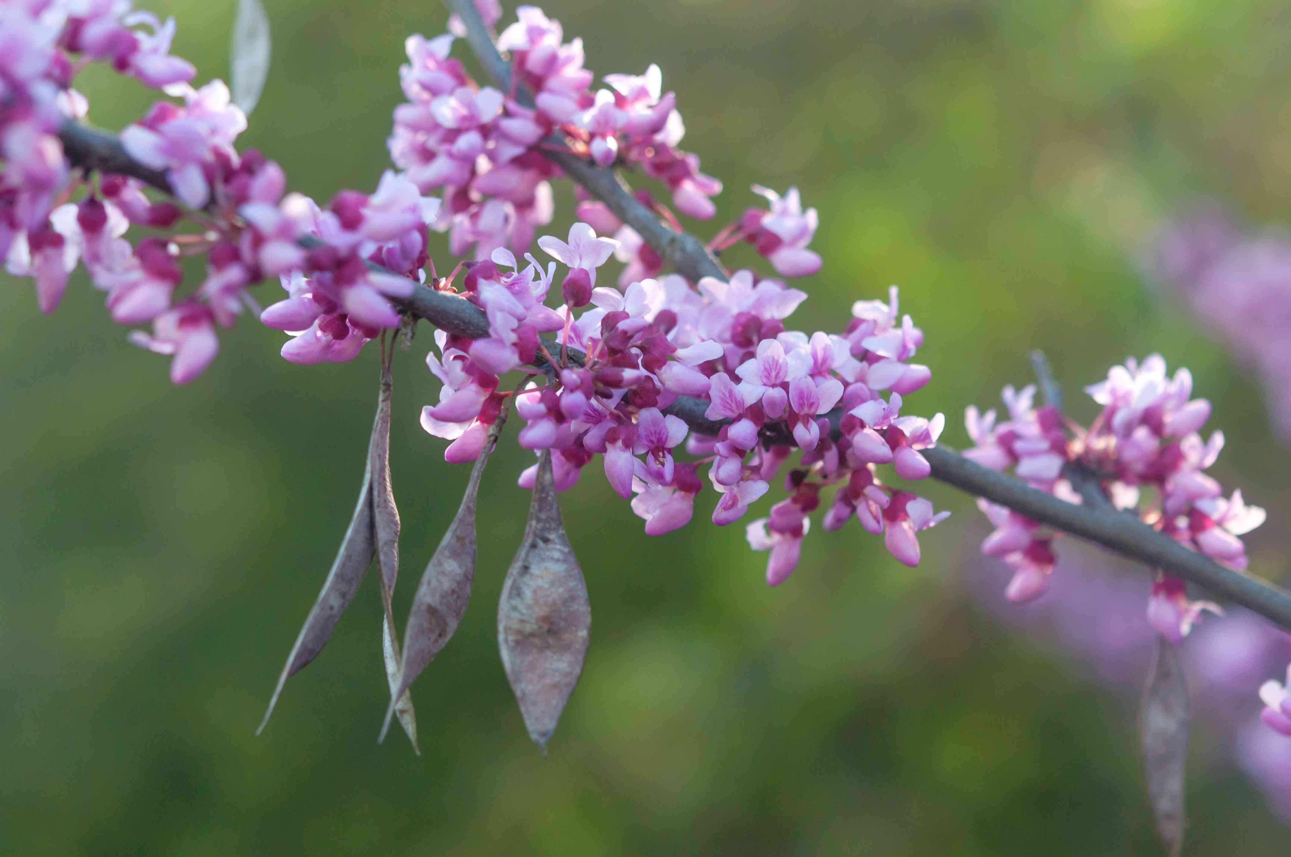 Eastern redbud tree branch with small white and pink flowers and pods hanging