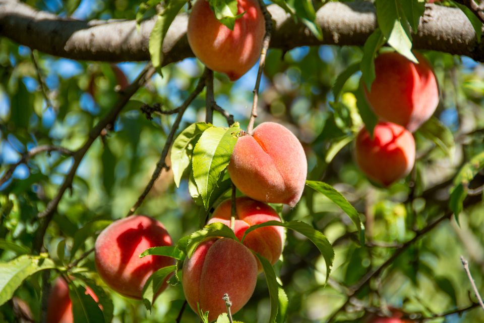 How To Grow And Care For Peach Trees