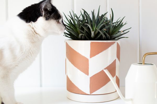 a cat sniffing a haworthia plant