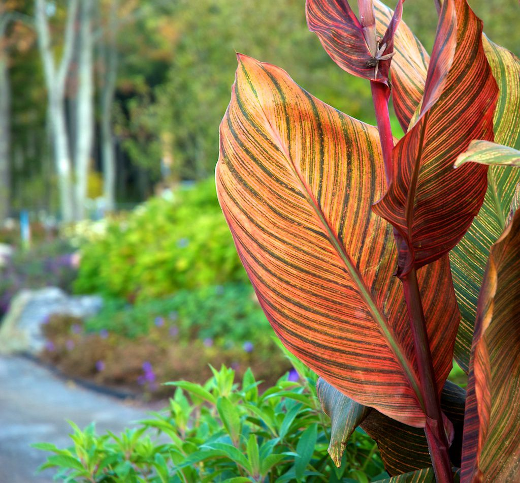 Container Home Interior: How To Grow And Care For Canna Lilies