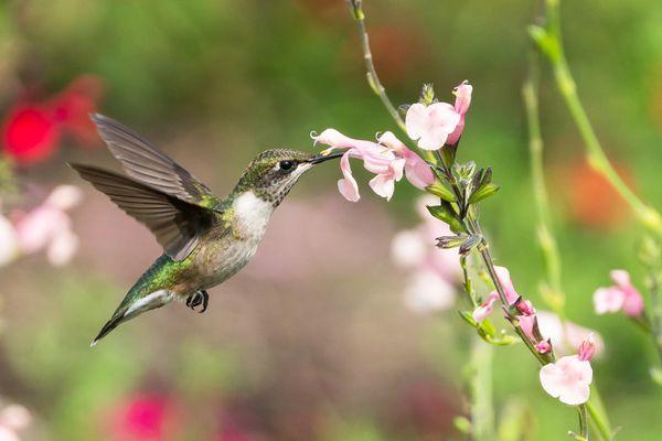 A hummingbird getting nectar from a pink flower.