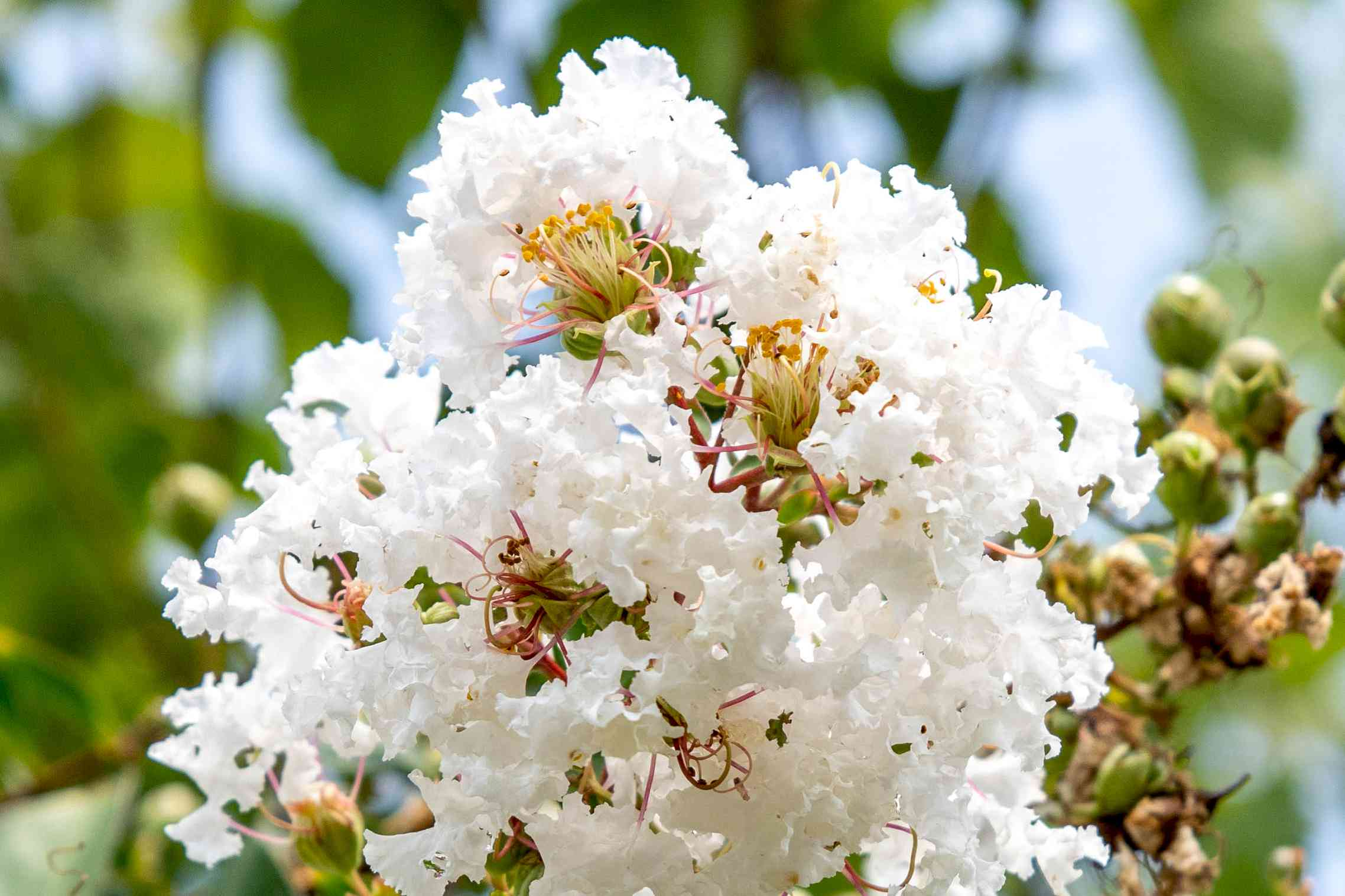 White fluffy blossoms clustered together with buds closeup