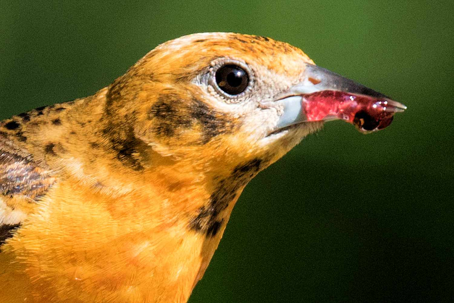 Female Baltimore Oriole Eating Jelly