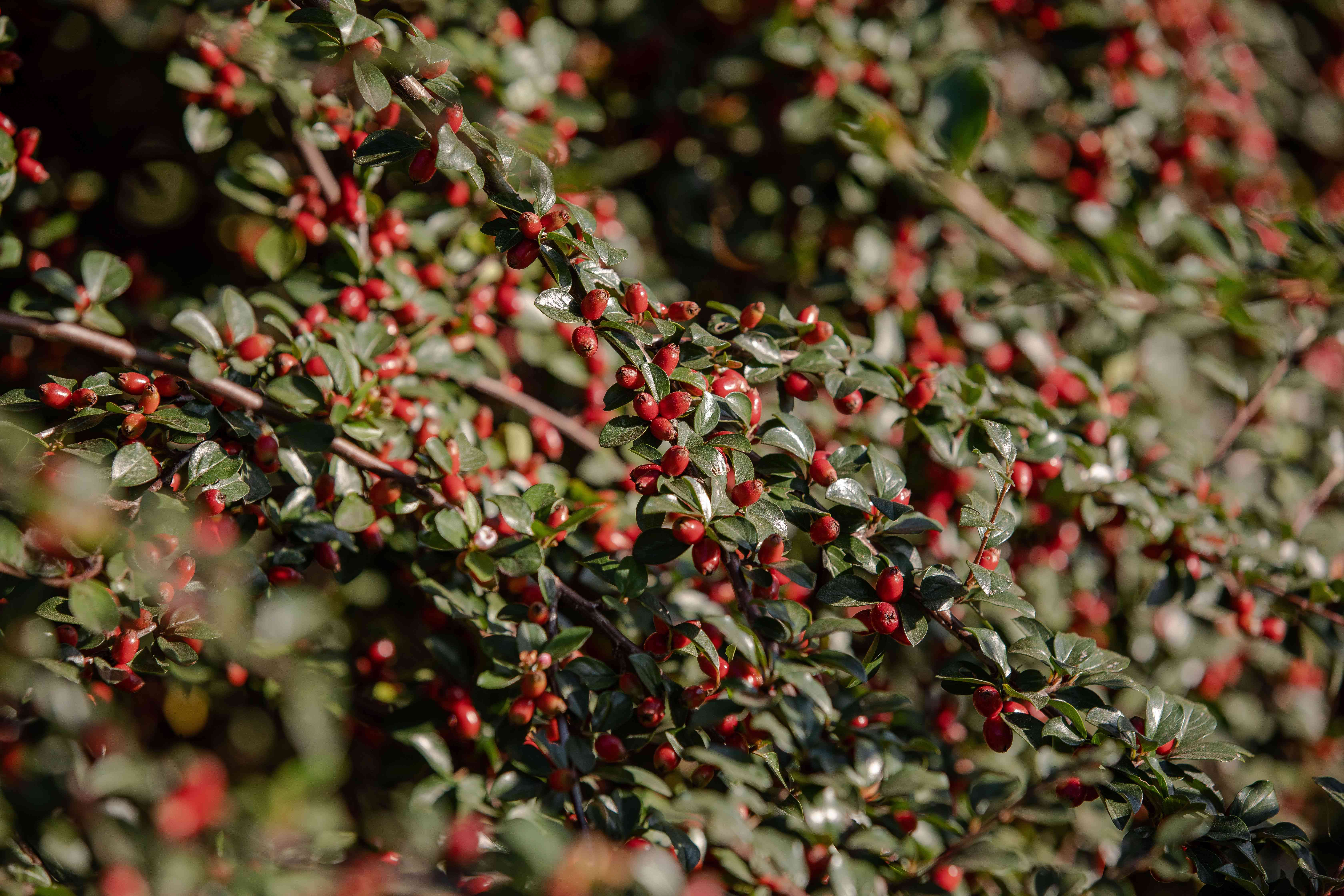 Rockspray cotoneaster plant with small red berries on branches with waxy green leaves