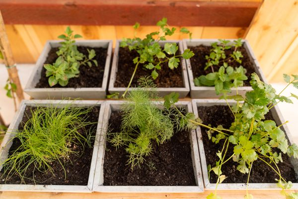 Herb plants growing in six separate square containers