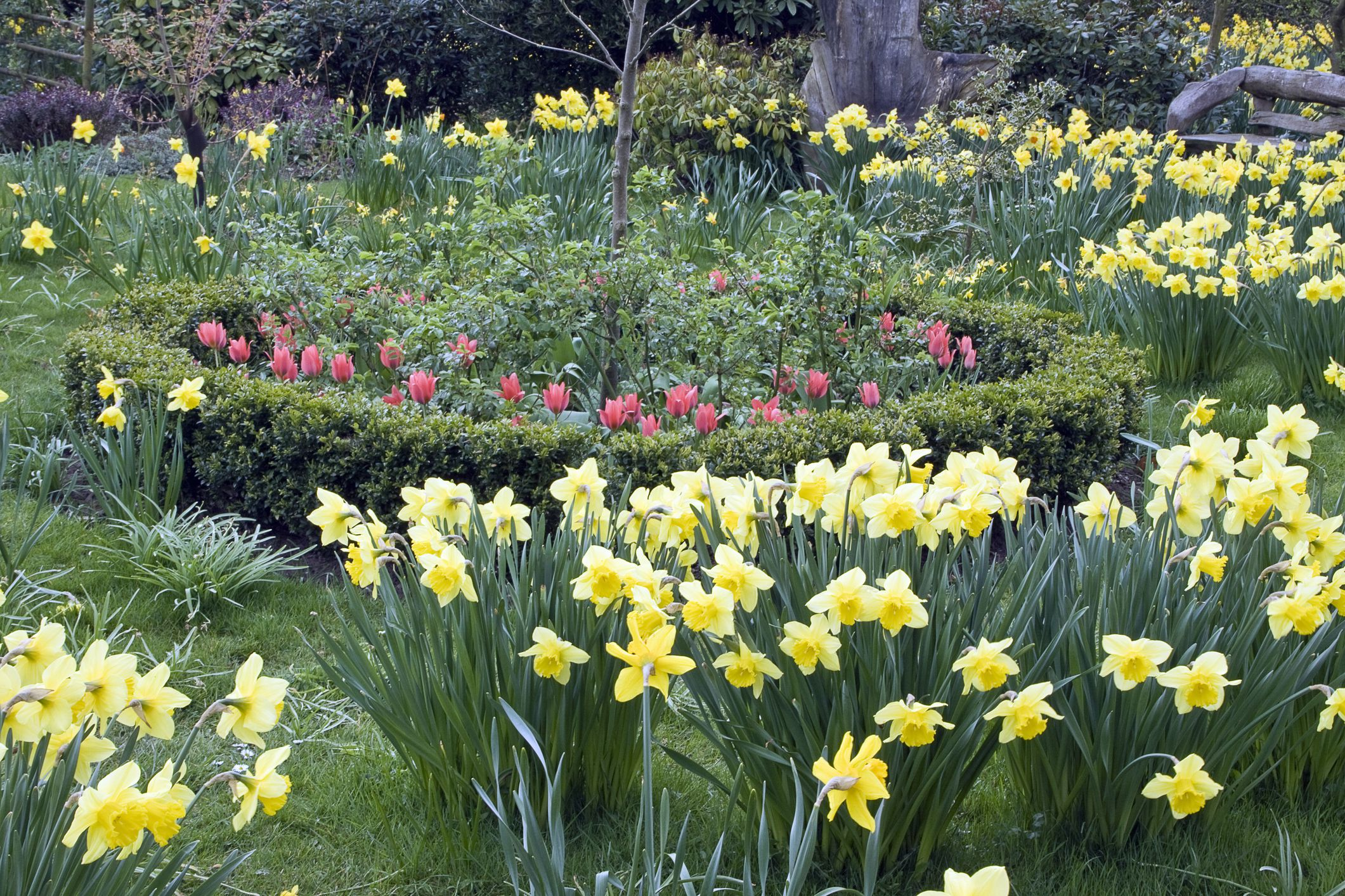 Early spring garden planted with daffodils (Narcissus), pink tulips (Tulipa) and circular box hedge (Buxus), Millenium Garden, Lichfield, Staffordshire, UK (NGS)