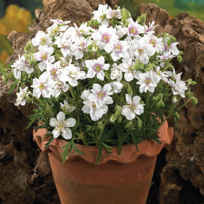 'Double Jewels' geranium with white flowers