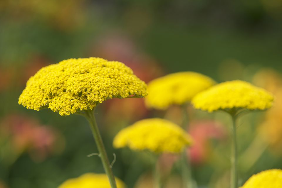 Yellow yarrow flower clusters.