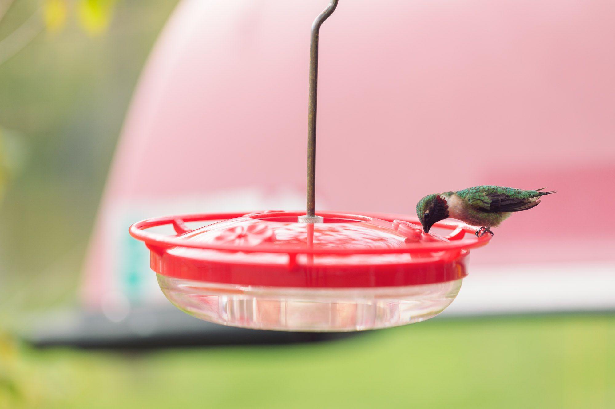 hummingbird feeding on nectar