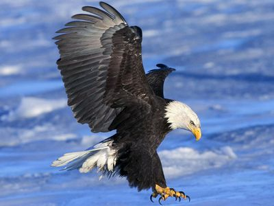 Complete Eagle Species List