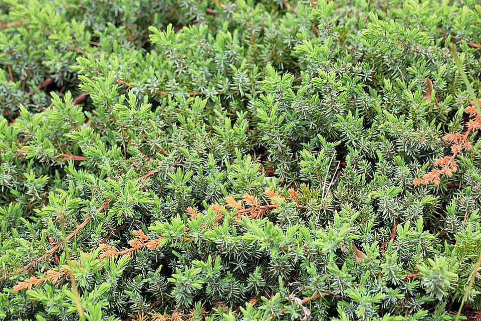 For year-round color, try a shore juniper shrub