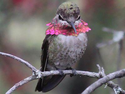 Anna's Hummingbird Showing Anger