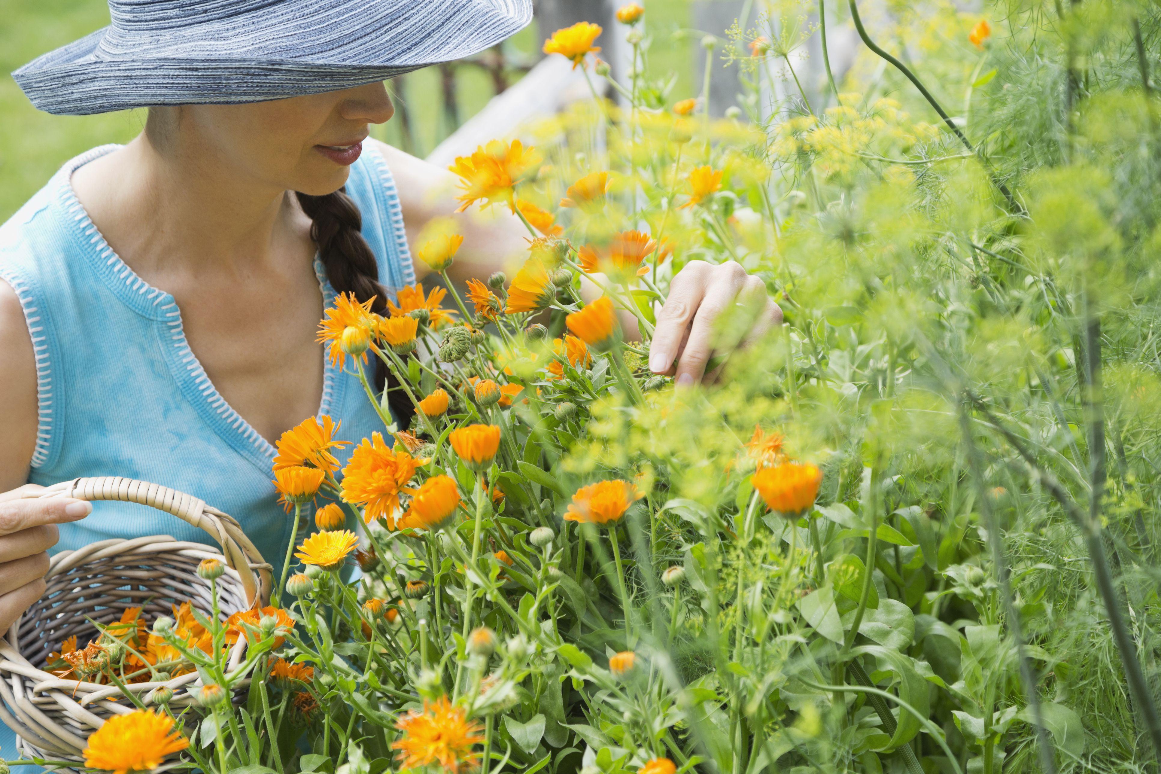 Woman picking calendula flowers in garden