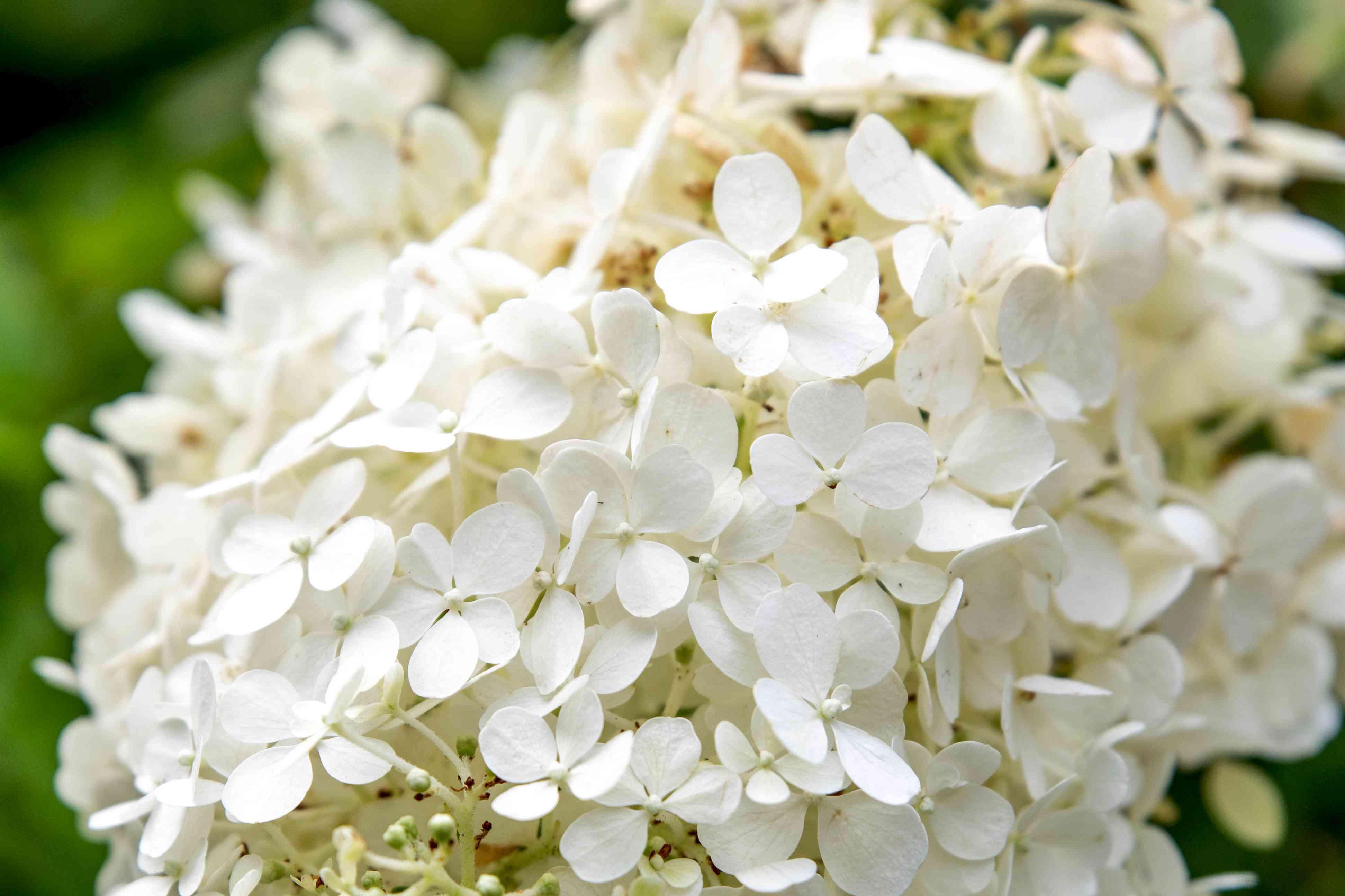 Bobo hydrangea shrub white flower panicles closeup