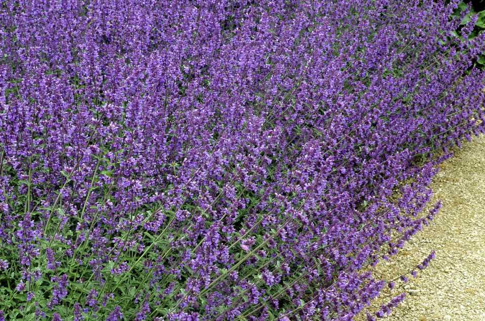 Nepeta racemosa 'Walker's Low' plants growing in a mass.