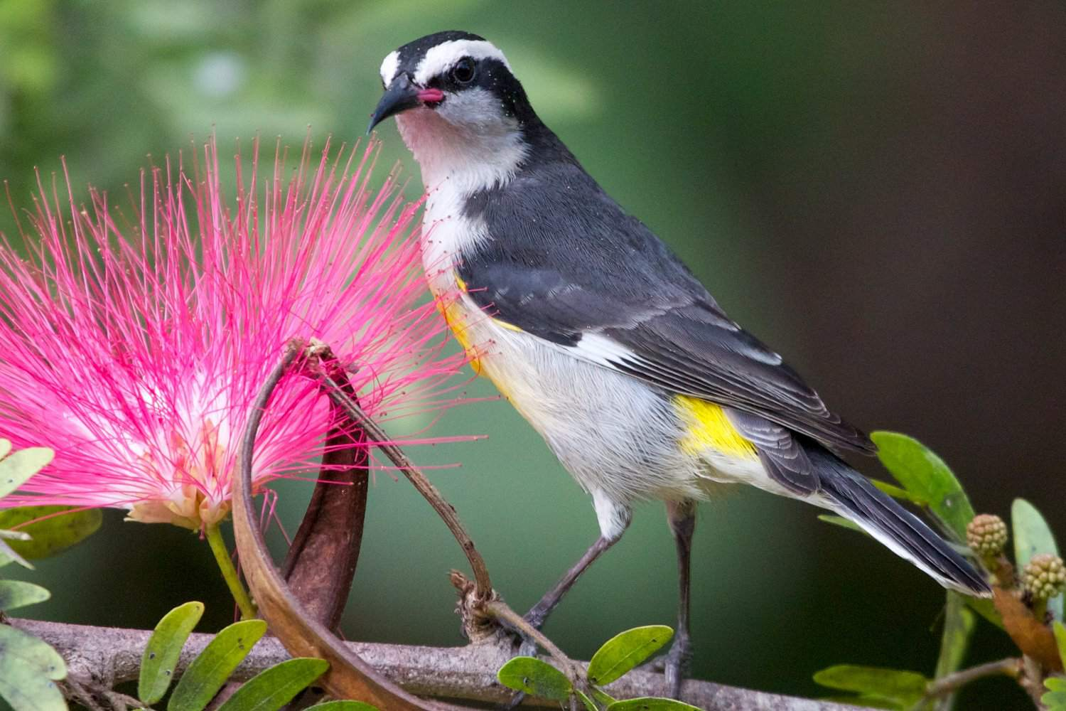 Bananaquit at a Flower