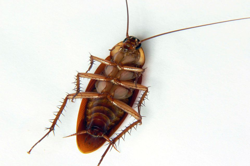 A cockroach lying on its back, either dead or tired