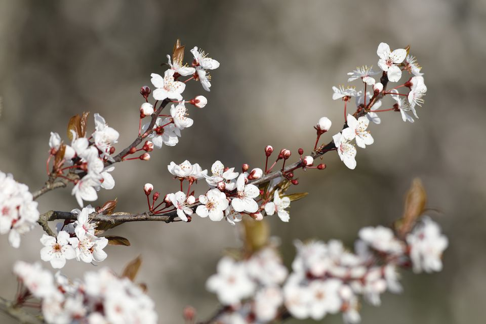 Flor de ciruelo blanco como la nieve en invierno