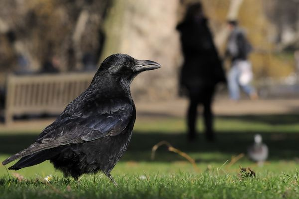 Carrion crow (Corvus corone) foraging on lawn