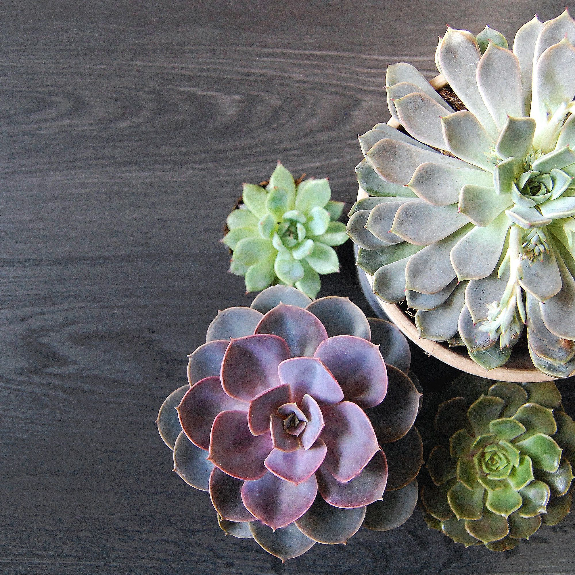 How to Grow Echeveria Succulents