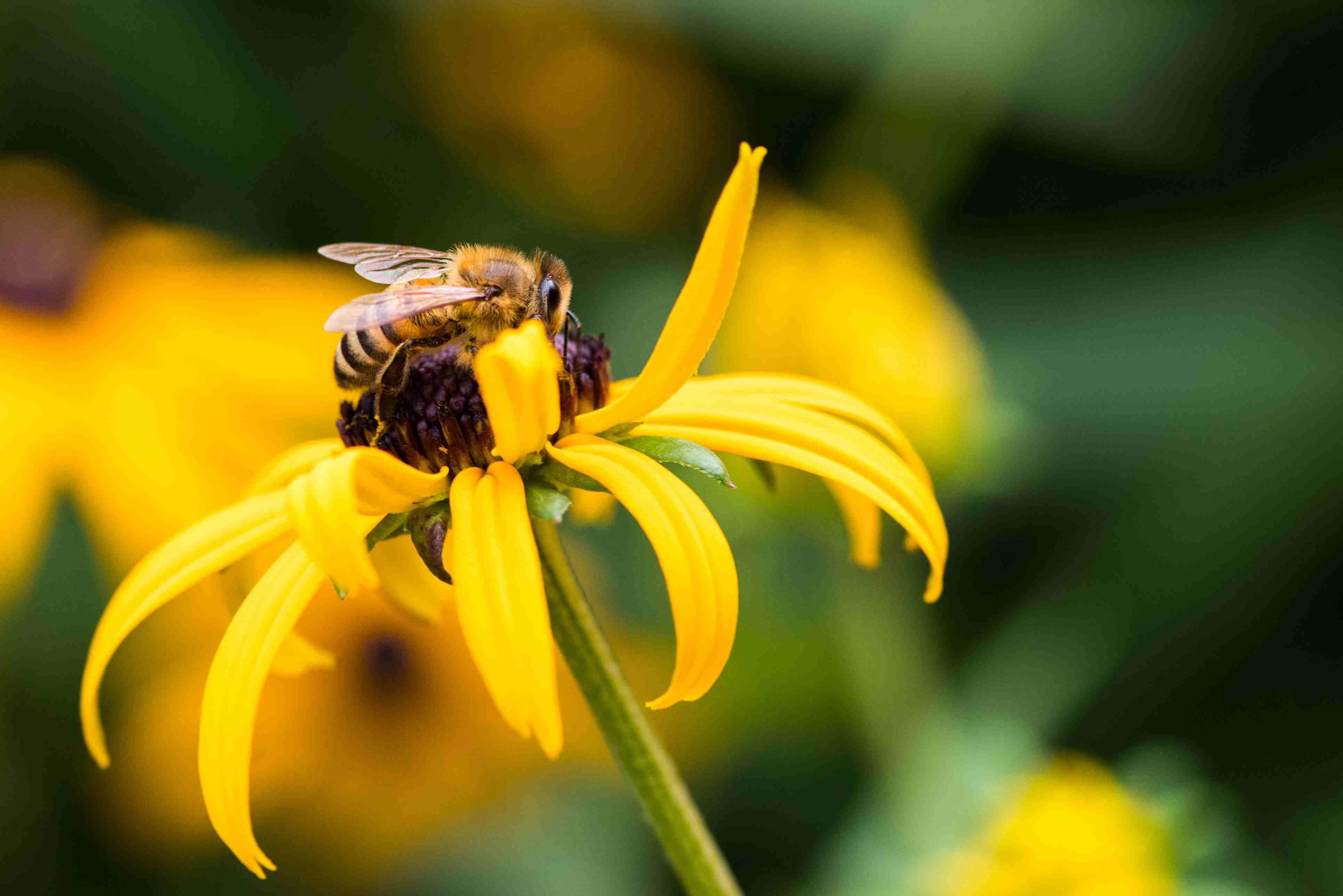 Primer plano de Bee en Black-Eyed Susan