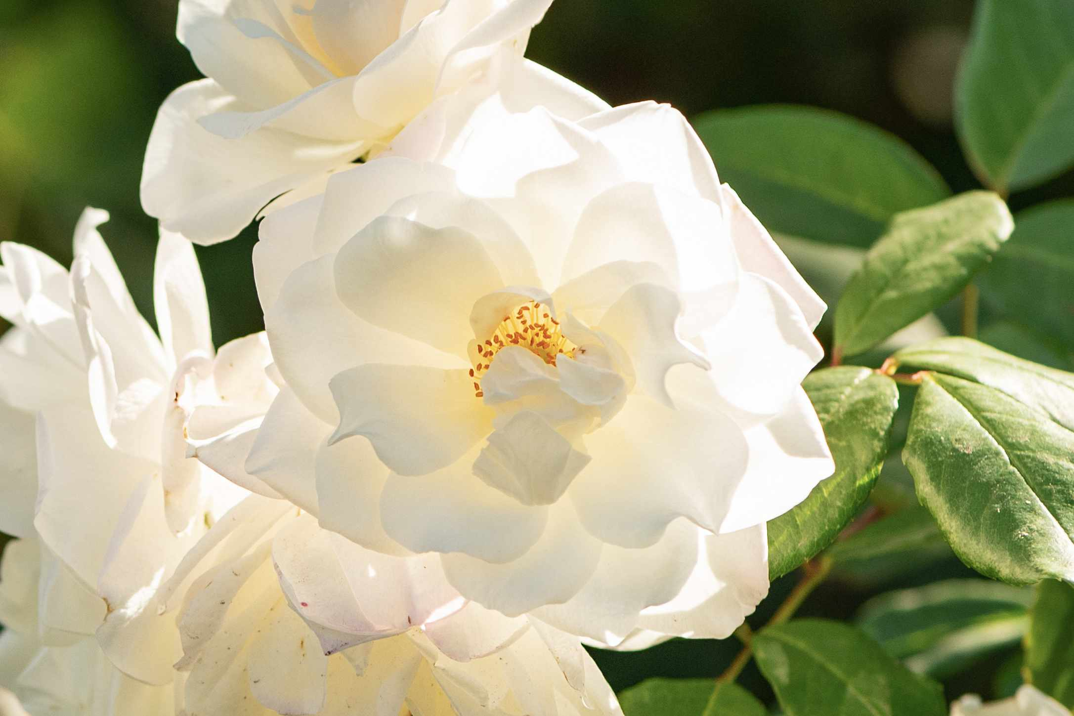 Cherokee rose with large white and ruffled flowers closeup