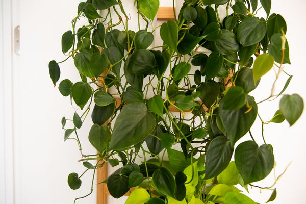 Heartleaf philodendron plant with heart-shaped leaves hanging over planter stand