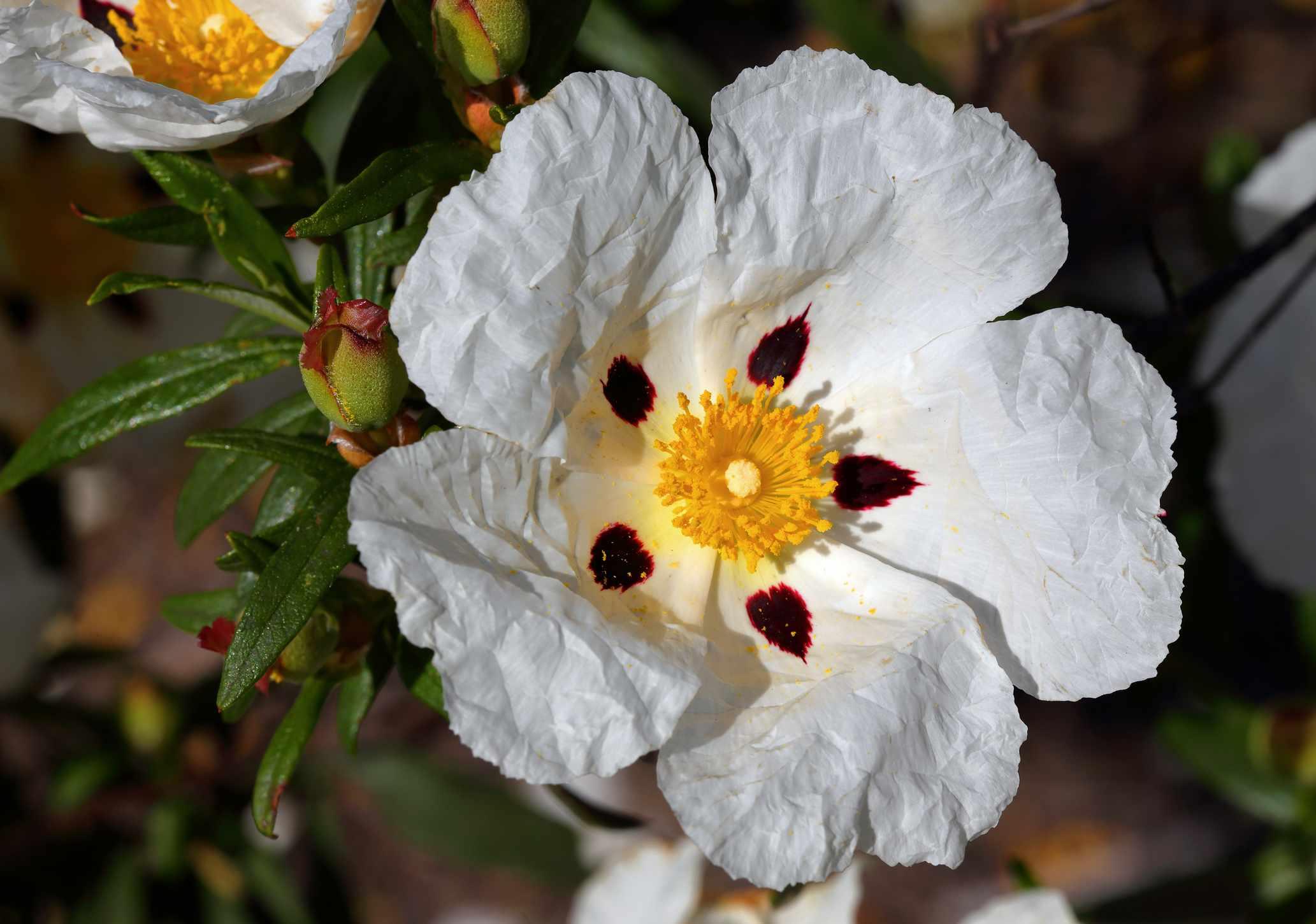 A close up photo of a white Cistus ladanifer (Crimson-Spot Rockrose) in the garden.
