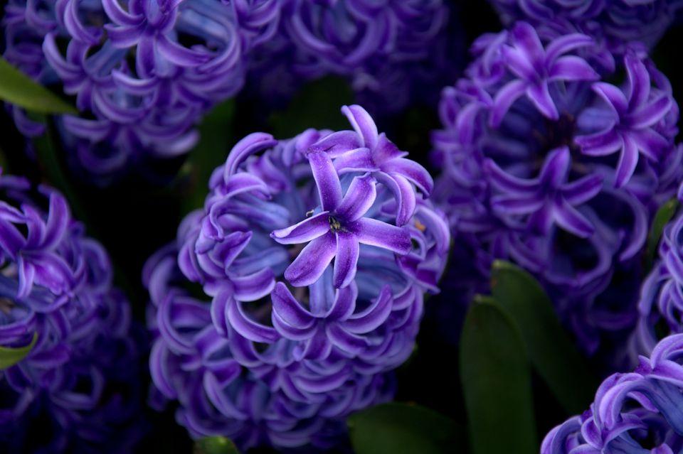 Ultra violet Hyacinth