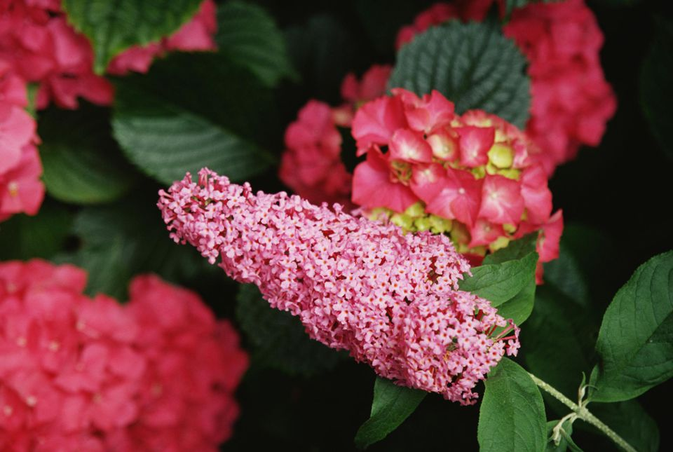 Pink Delight Butterfly Bush blossoms