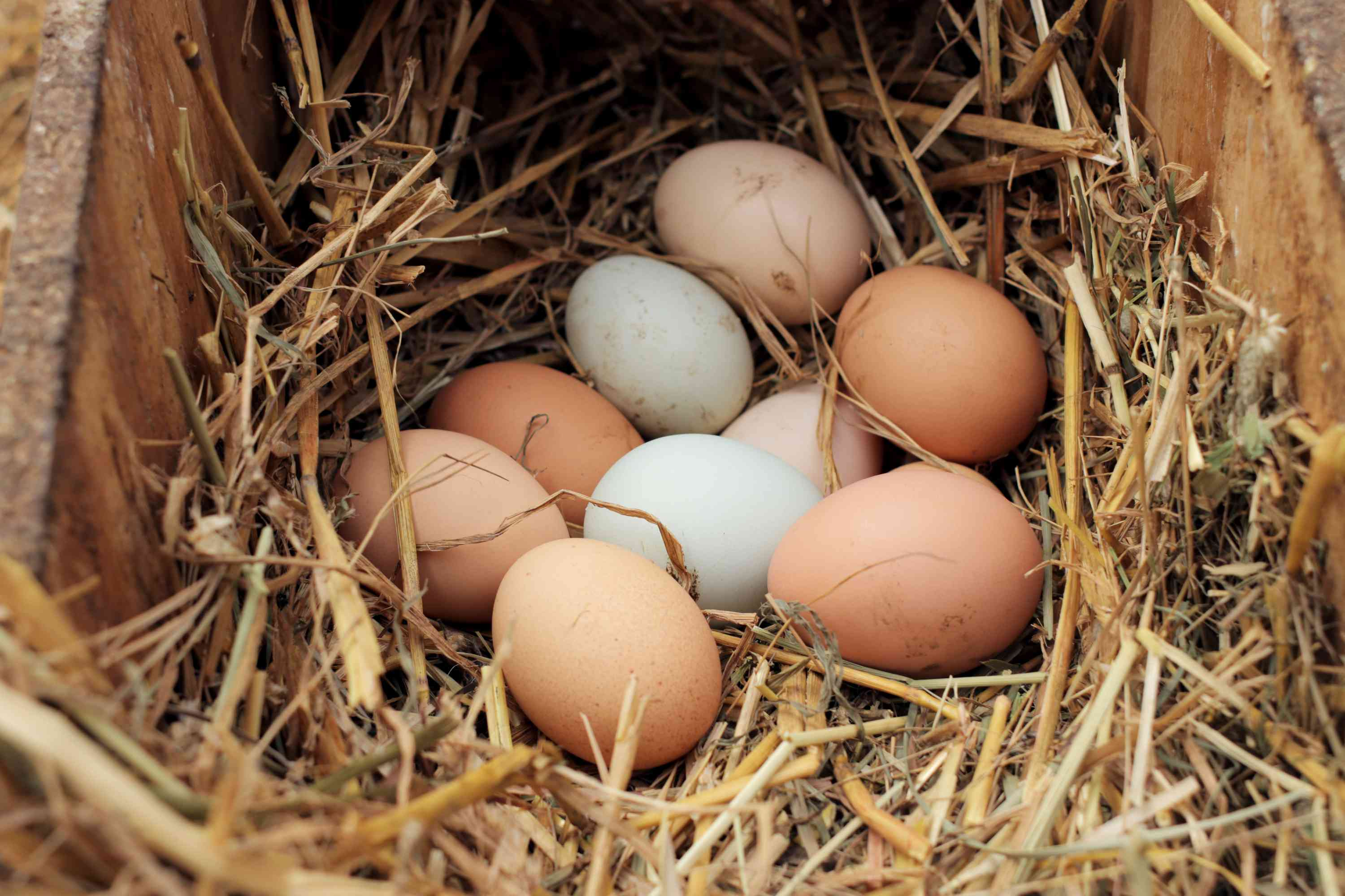 collecting chicken eggs