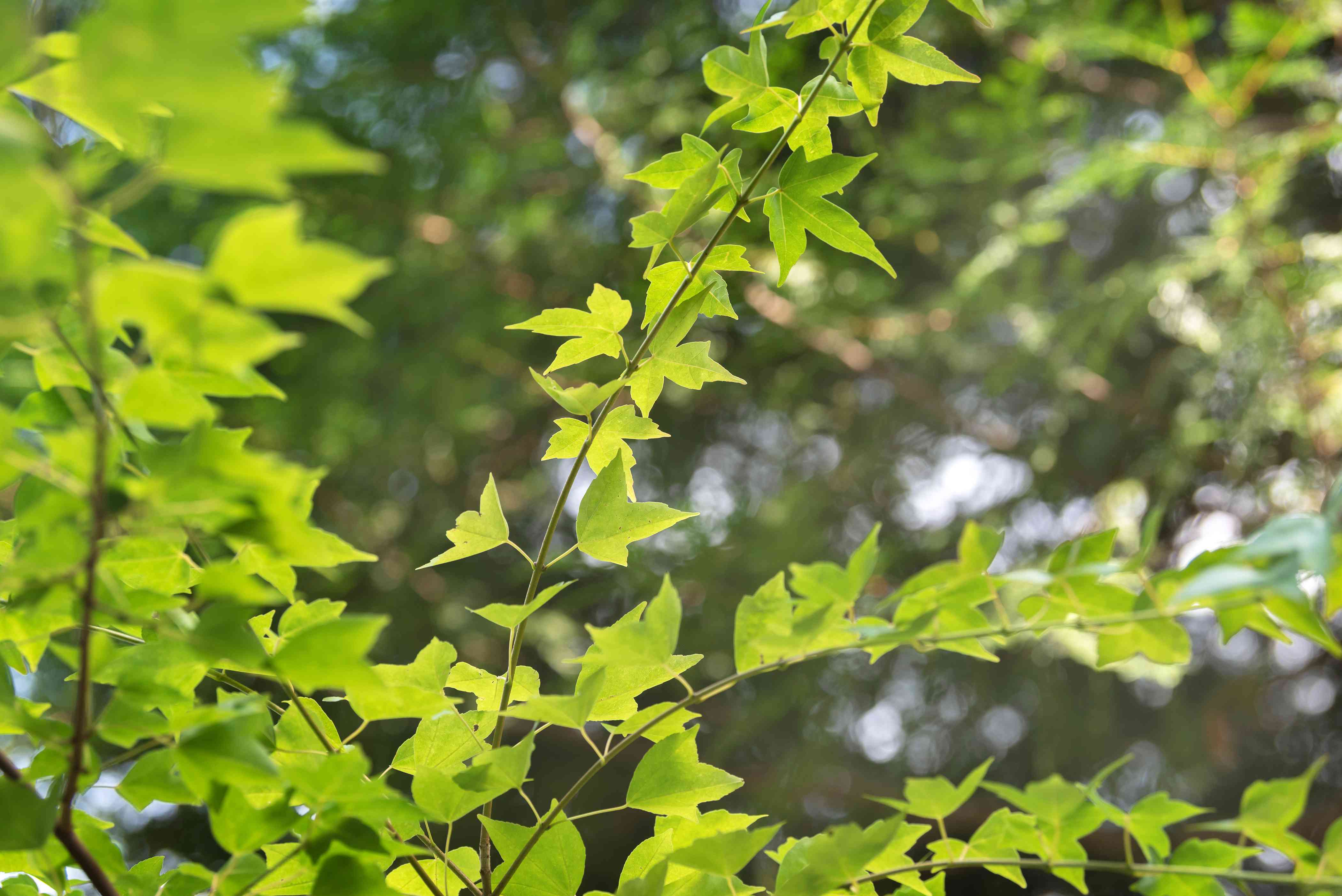 Trident maple tree branches with three-lobed leaves in sunlight