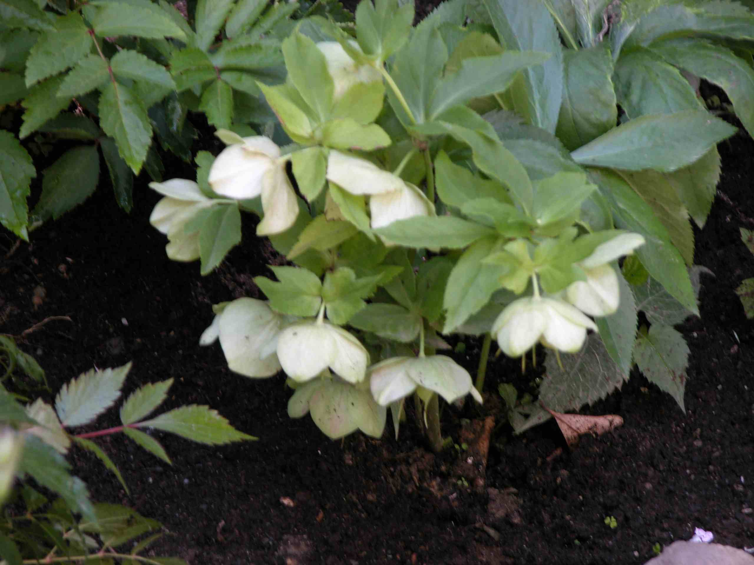 How to Grow Hellebores