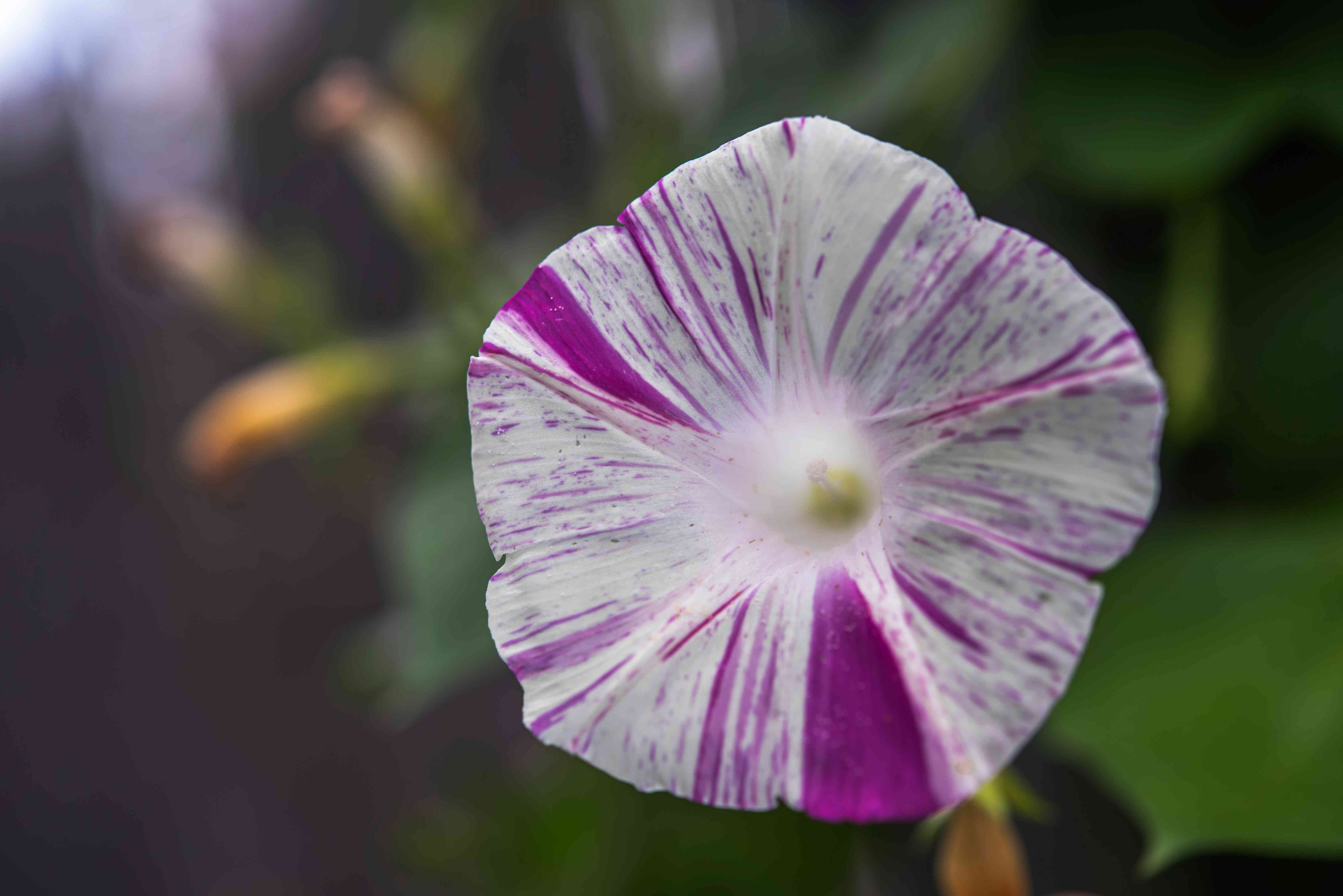 Morning glory with white and violet striped flower closeup