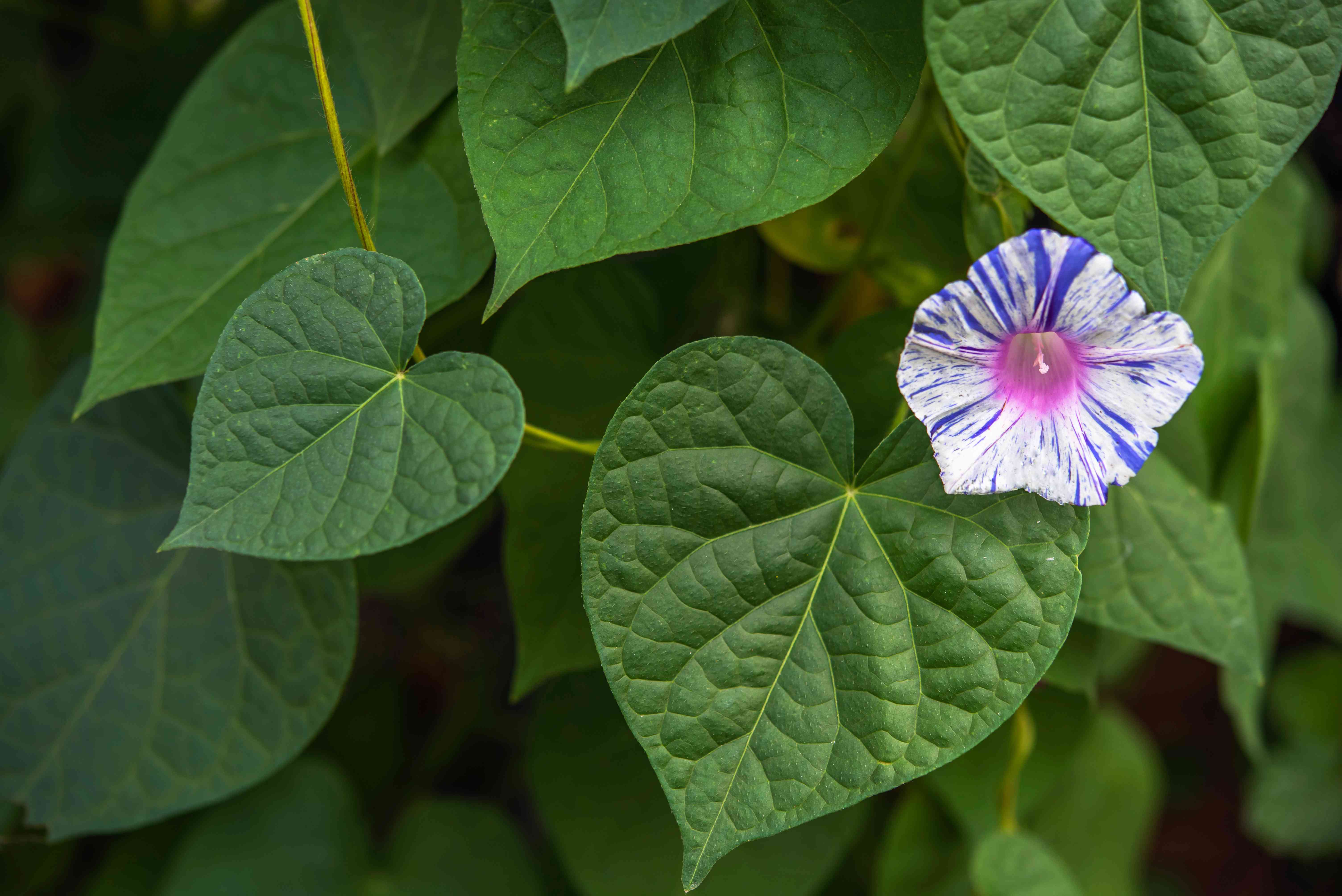 Morning glory with white and blue striped flower and green leaves