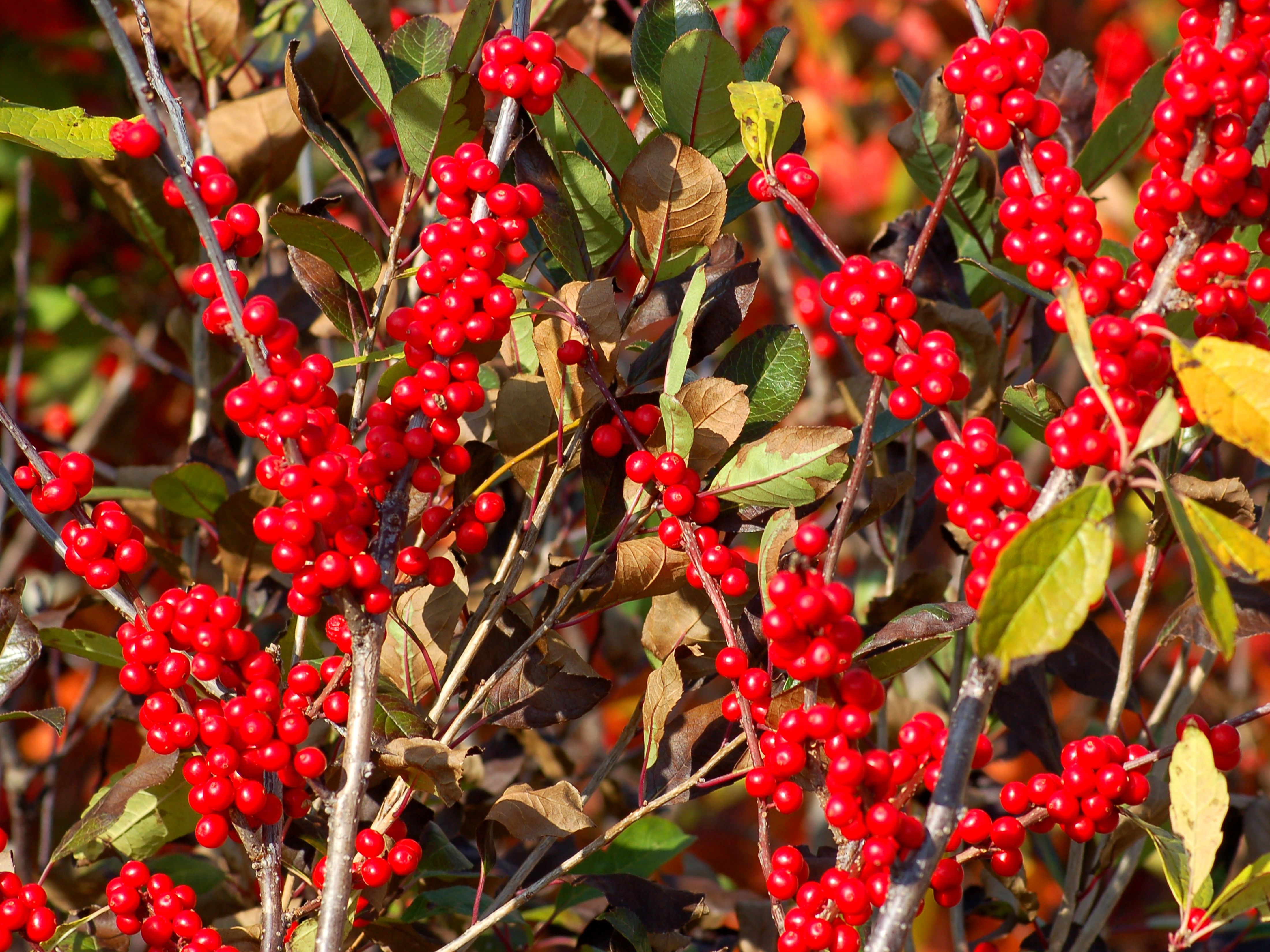 How To Grow Winterberry Holly Ilex Verticillata