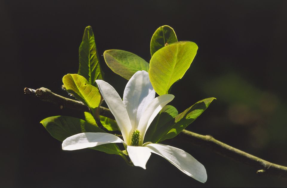Close showing the tepals of an anise magnolia flower