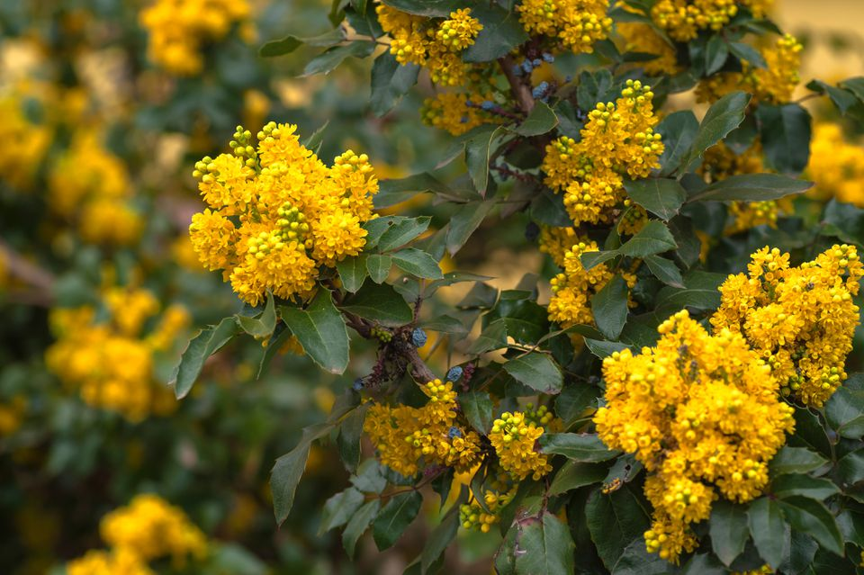 Oregon grape shrub with yellow flowers and buds