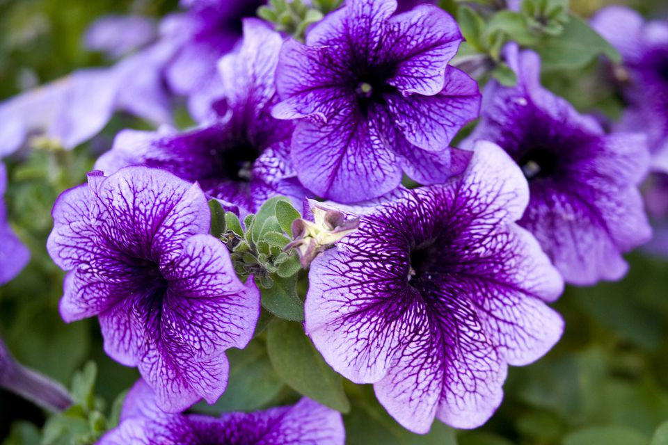 Pictures of purple flowers purple petunias mightylinksfo