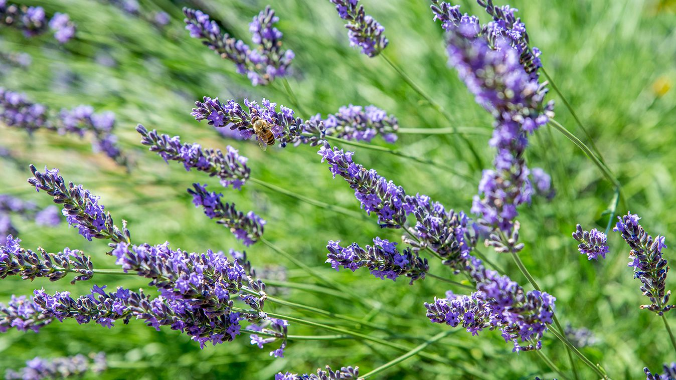 Lavender Plant Care Growing Guide
