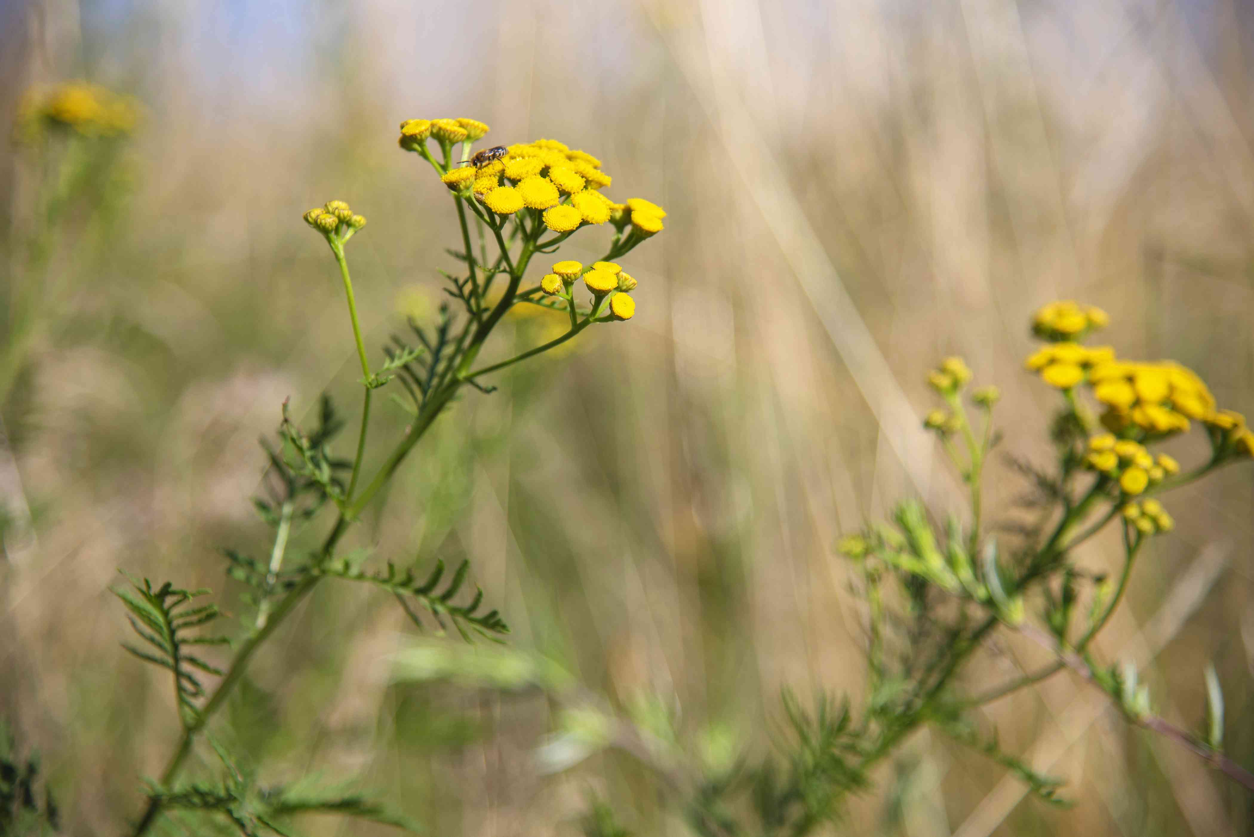 Common tansy plant with small yellow button-like flowers on tall stems with fern-like leaves
